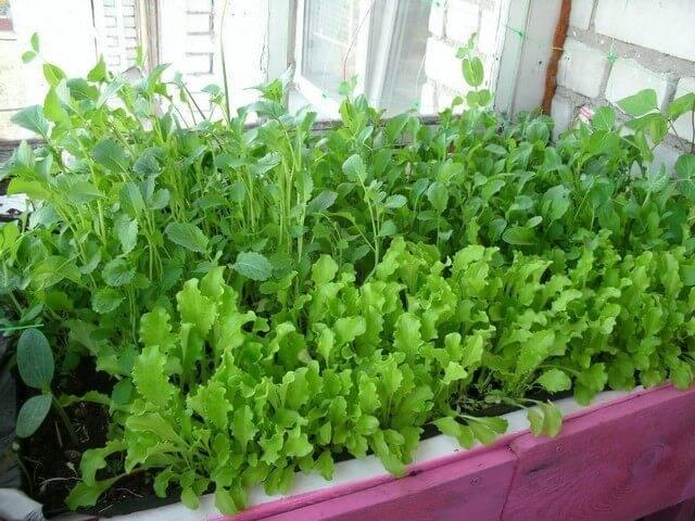 Выращивание рукколы на собственном подоконнике
