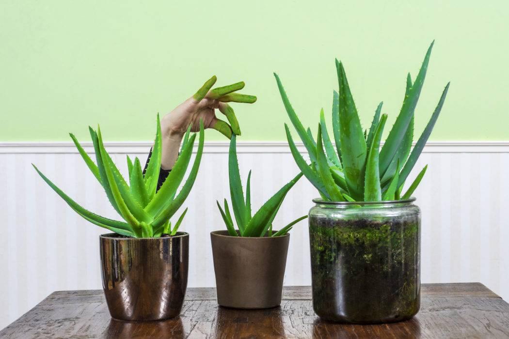 Как посадить алоэ – простые советы