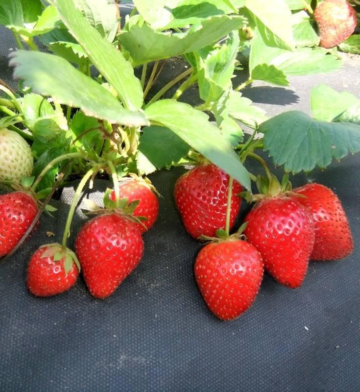 Клубника монтерей: описание сорта с характеристикой и отзывами, особенности посадки и выращивания, фото