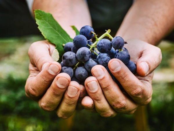 Морозоустойчивый виноград северный плечистик — любимец виноделов