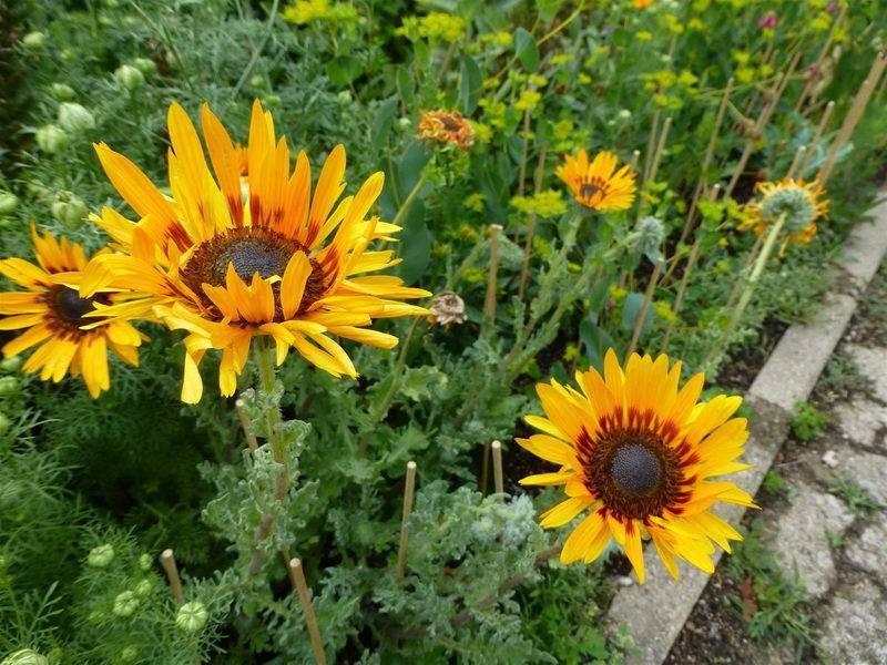Диасция: выращивание из семян, посадка и уход в открытом грунте