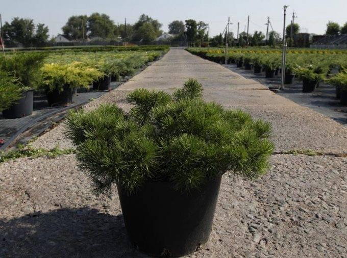 Горная сосна пумилио: фото и описание, посадка, уход, использование в ландшафтном дизайне