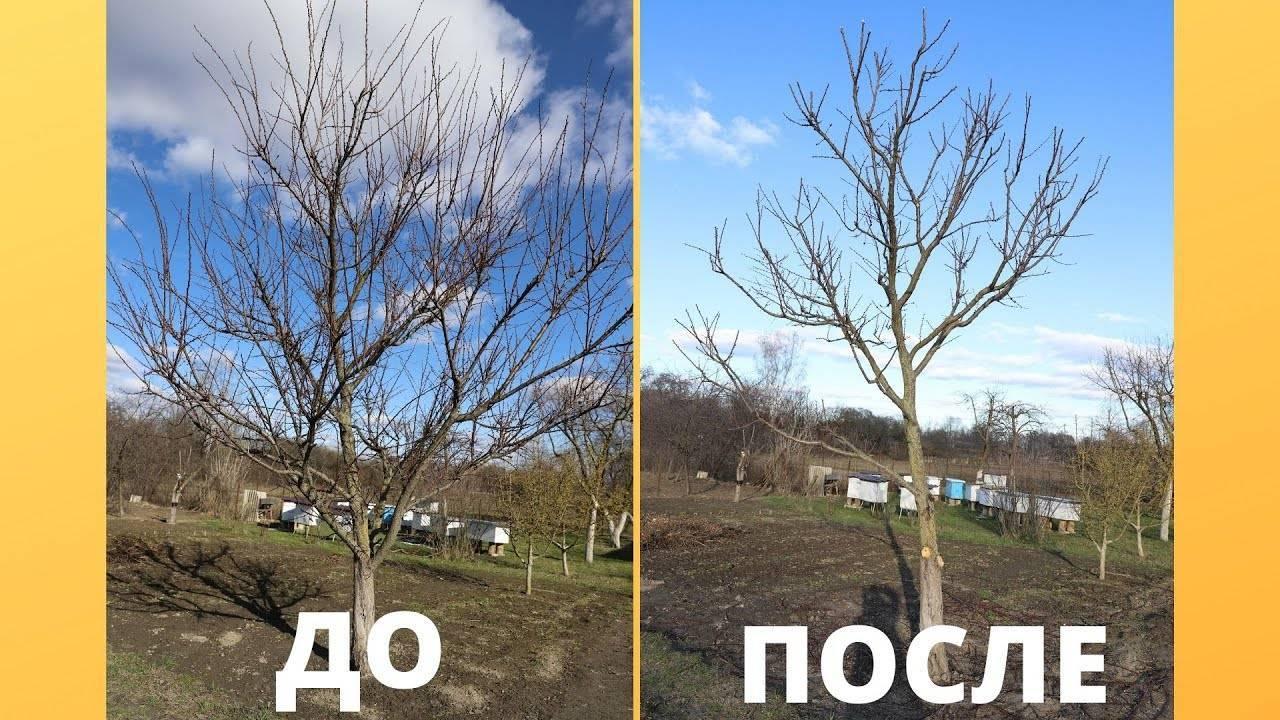 Обрезка старого абрикоса, чтобы омолодить дерево: схема и формирование кроны, уход за абрикосом осенью