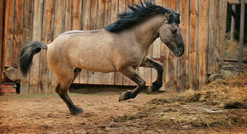 Описание Башкирской породы лошадей