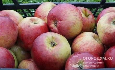 """Как вырастить яблони сорта """"жигулевское"""" у себя в саду"""
