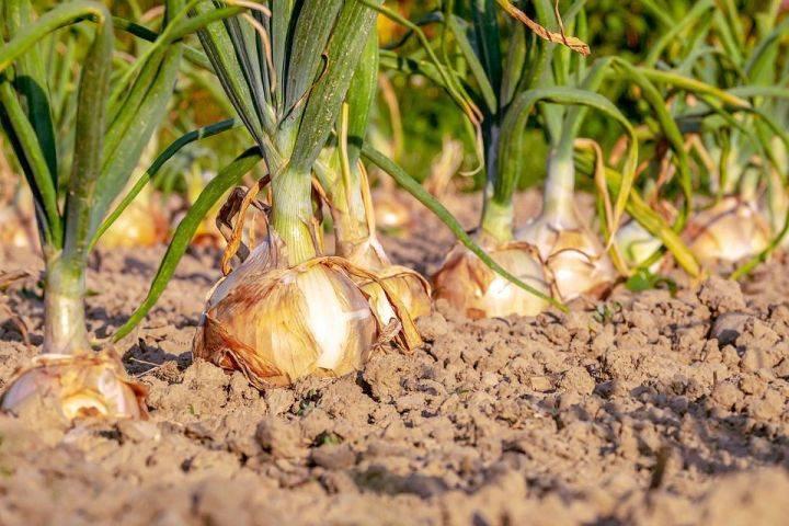 Правила уборки и хранения лука порей на зиму: когда, как и что делать после сбора урожая? русский фермер