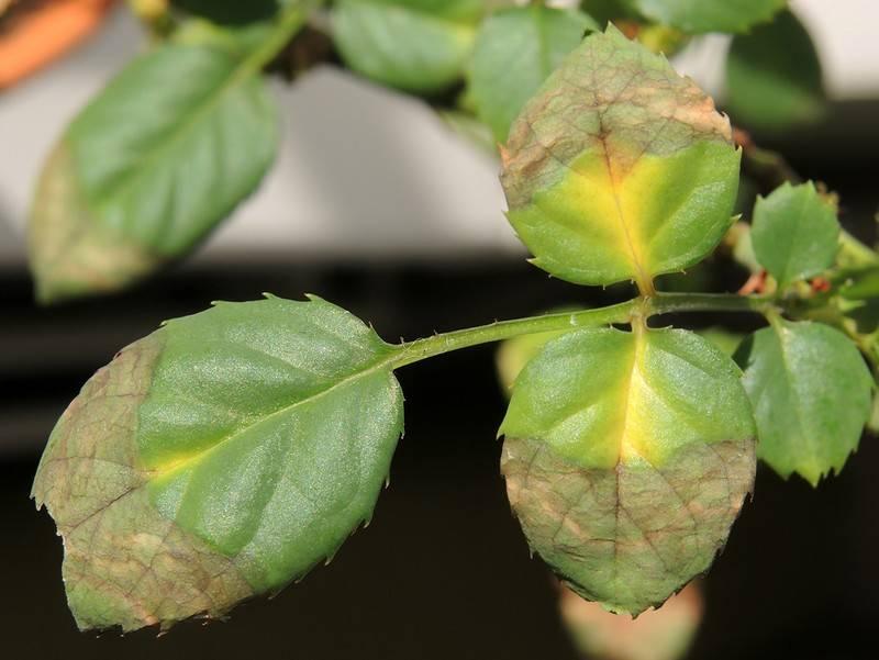 У роз желтеют и опадают листья, что делать, фото