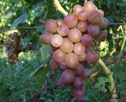 Виноград блестящий: подробное описание высокоурожайного сорта и его фото, характеристики и особенности выращивания selo.guru — интернет портал о сельском хозяйстве