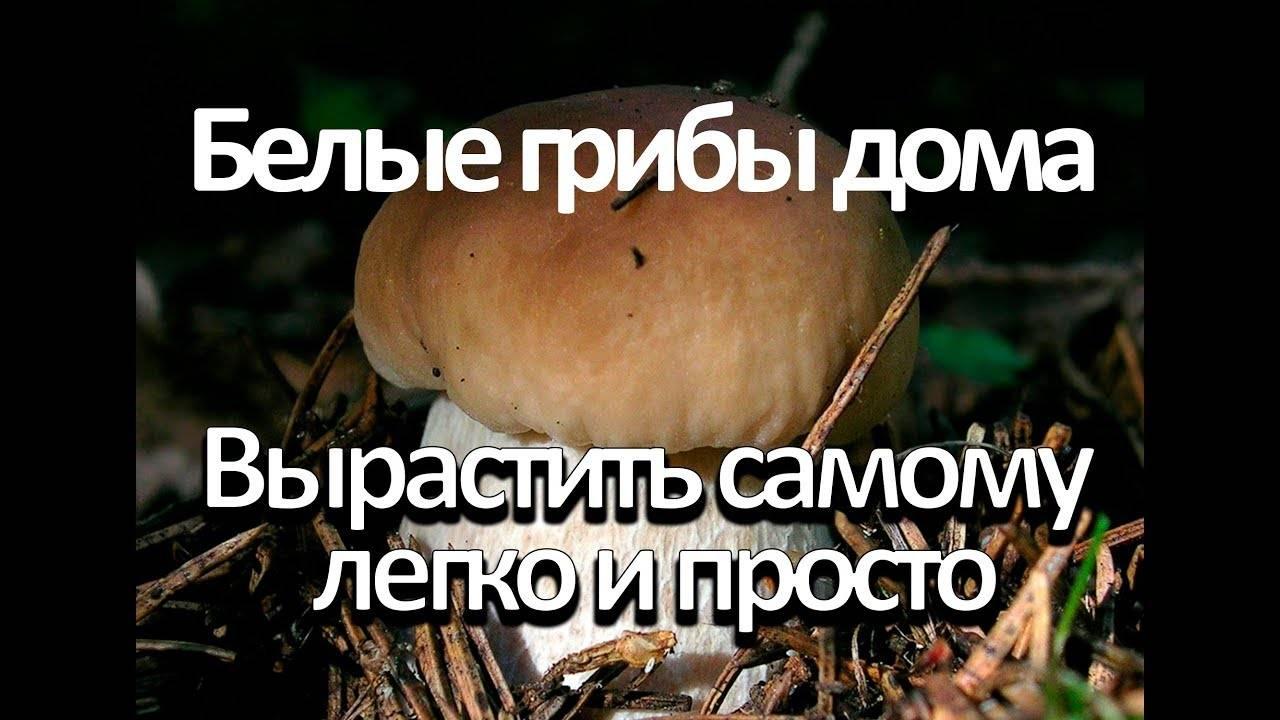 Как вырастить белые грибы на подоконнике дома: видео — selok.info