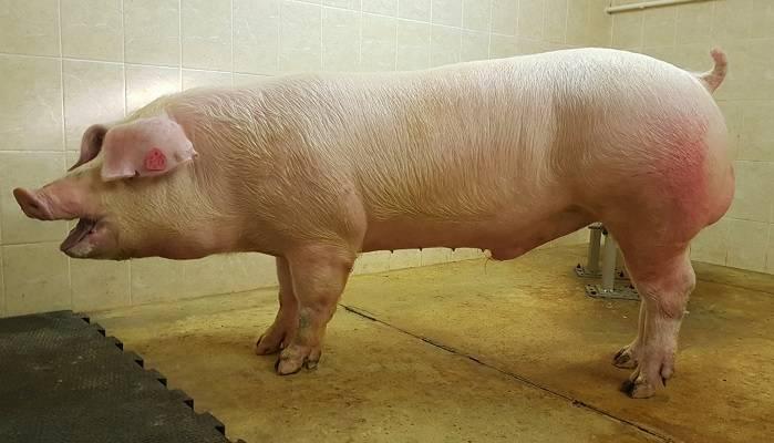 Вес свиньи - как определяется и от чего зависит. советы по быстрому набору веса