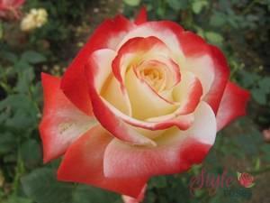 Роза императрица фарах: фото, описание сорта, отзывы