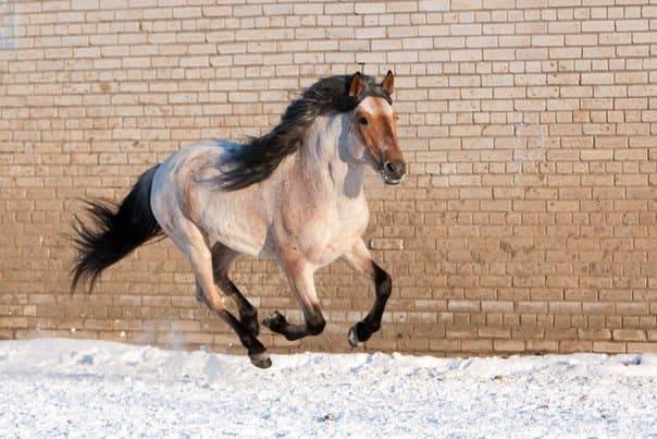 ᐉ башкирская порода лошадей: описание, виды - zooon.ru