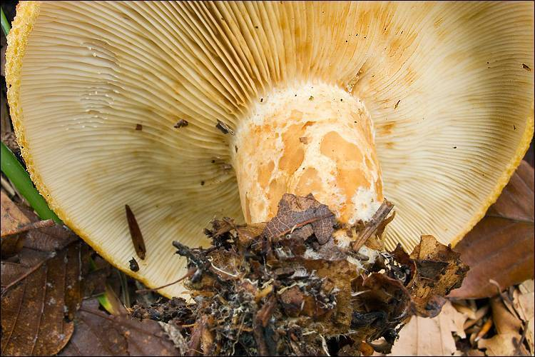 Груздь белый (настоящий, сухой, сырой, мокрый, правский, lactarius resimus): как выглядит, фото, съедобный или нет