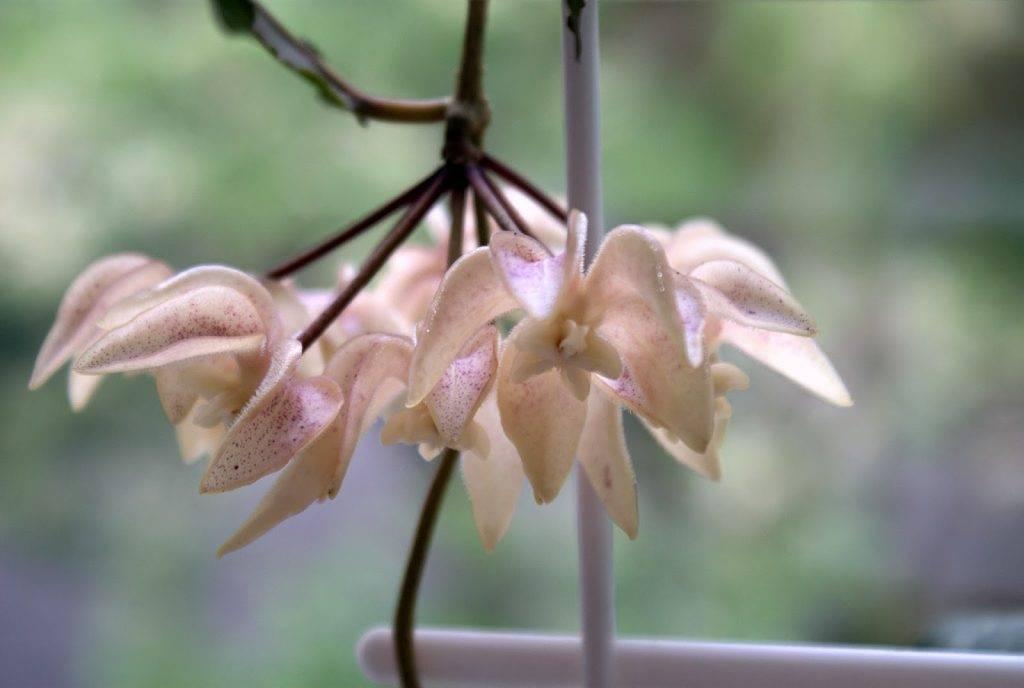 Как цветет растение хойя матильда, лакуноза, триколор, компакта, вайети и другие