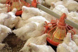 Рыбий жир для кур и цыплят: описание, как давать