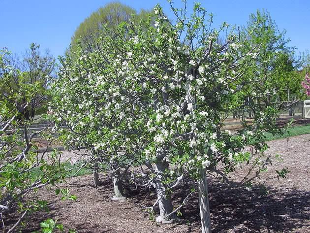 Правильная обрезка молодых яблонь. опыт ведущих садоводов