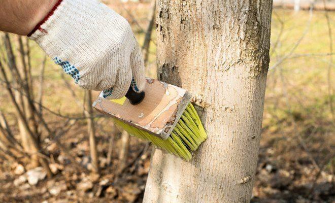 Белить или не белить? нужно ли весной белить деревья?. фото — ботаничка.ru