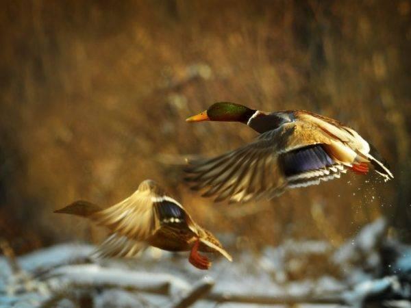 Как подрезать крылья уткам: видео, фото
