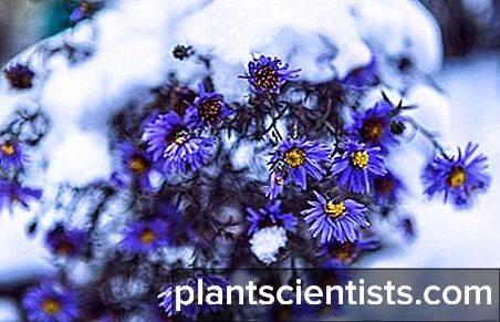 Цветы — сентябринки: размножение, посадка и уход фото