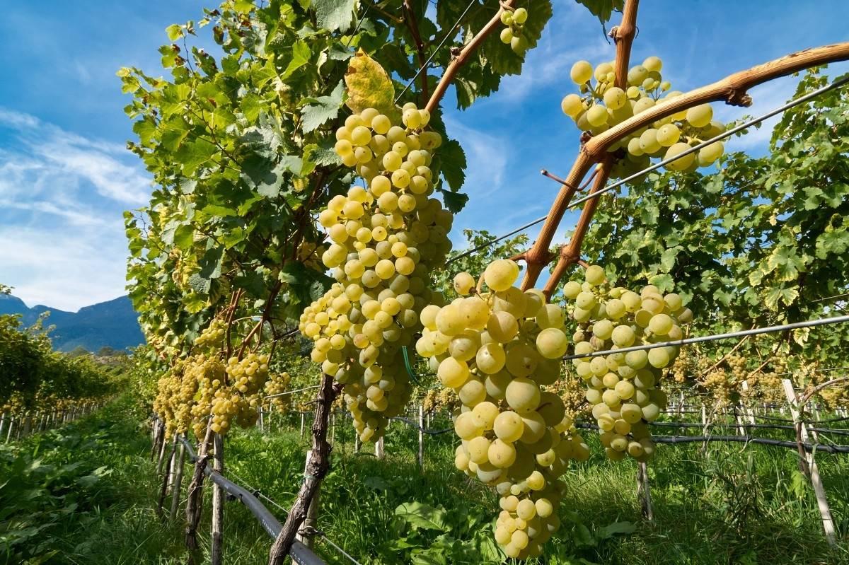 Обрезка винограда весной в пошаговом описании, видео