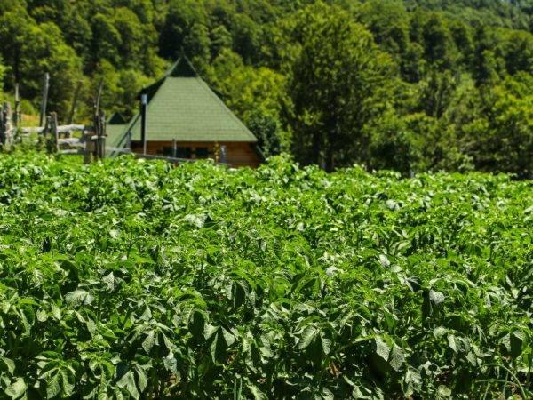 Картофельная ботва 3 причины для срезания ботвы (сроки)