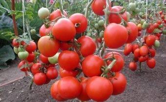 Препарат-фунгицид хом (хлорокись меди): инструкция по применению для растений, томатов, огурцов, винограда, хвойных, картофеля, отзывы, состав