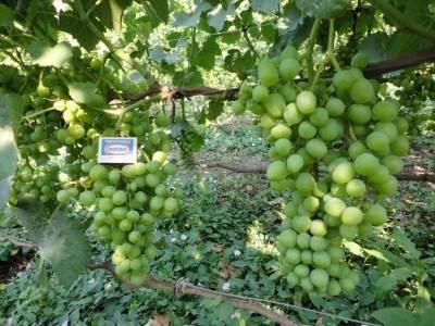 """Виноград """"белое чудо"""" описание сорта винограда, уход, выращивание и отзывы"""