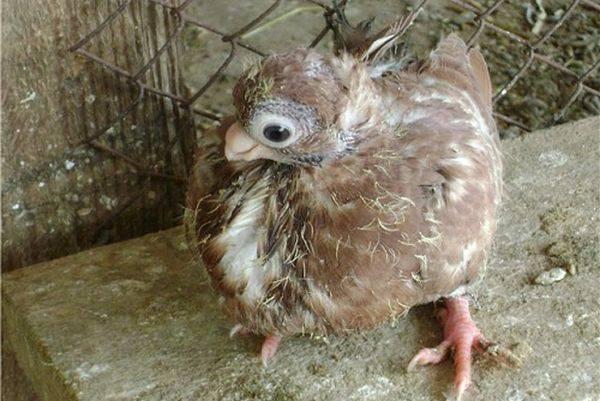 """Чем кормить птенца голубя в домашних условиях - """"vexsi"""" интересный журнал    голуби едят рыбу"""