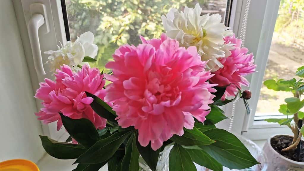 """Правильная посадка травянистых пионов - проект """"цветочки"""" - для цветоводов начинающих и профессионалов"""