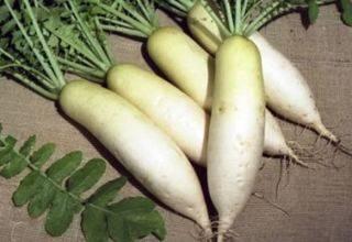 Арбузный редис: что это такое, как используют в кулинарии, в блюдах и для украшений в виде цветков, а также как выращивают овощ?