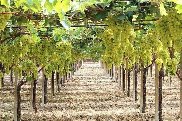 Виноград ландыш: описание сорта, внешний вид, характеристики и фото selo.guru — интернет портал о сельском хозяйстве