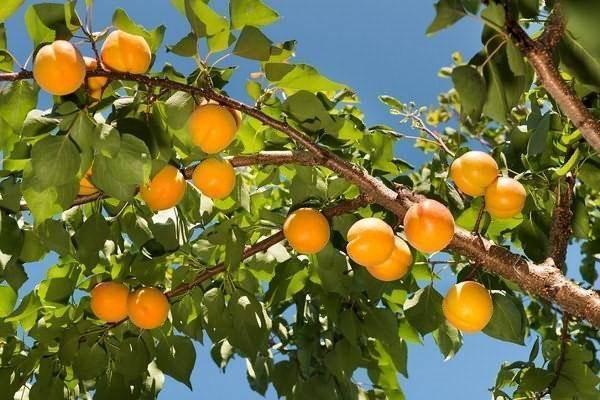 Сорта абрикосов: фото с названием и описанием, агротехника выращивания