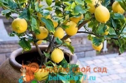 Практические рекомендации о том, как грамотно пересадить лимон: пошаговая инструкция процедуры
