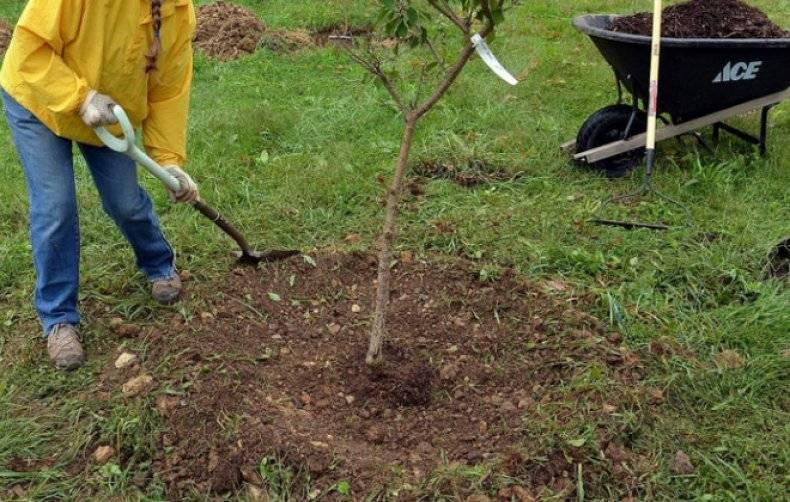 Советы профессионалов о том, когда сажать яблоню: весной или осенью?
