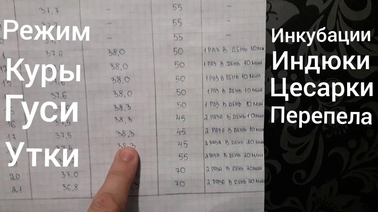 Инкубация цесарок в домашних условиях • таблица инкубации, видео