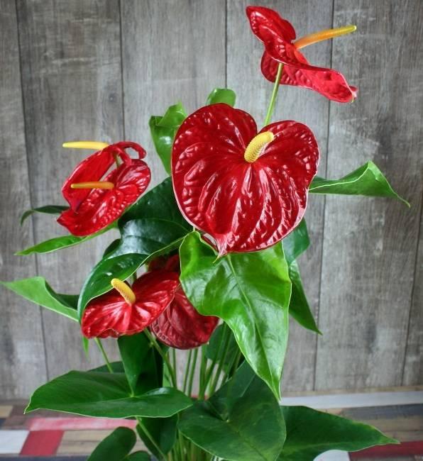 Красный антуриум - цветок семейного счастья: фото, посадка и уход