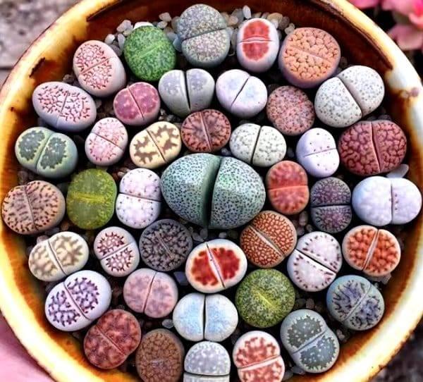 Примеры по уходу и выращиванию цветка литопс: размножение и посадка