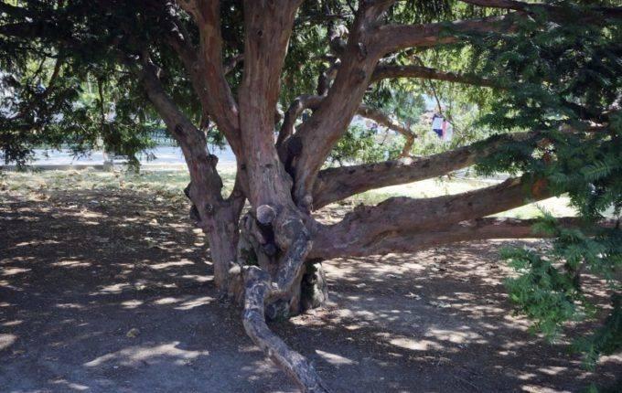 Хвойные тисы - виды, посадка, уход и сорта с фото