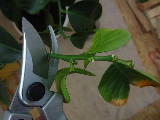 Размножение лимона черенками в домашних условиях: как вырастить и укоренить