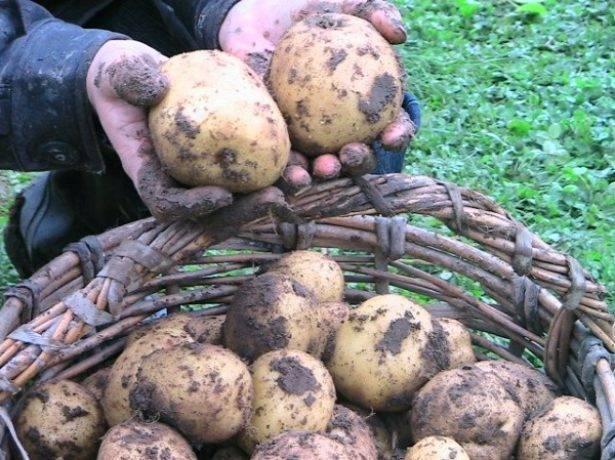 Картофель винета: описание сорта, отзывы, фото, характеристика