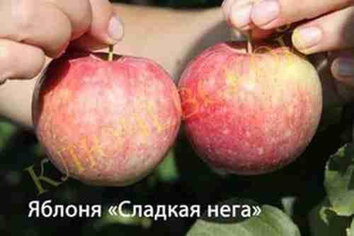 Яблоня сладкая нега описание сорта фото отзывы - дневник садовода gossort68.su