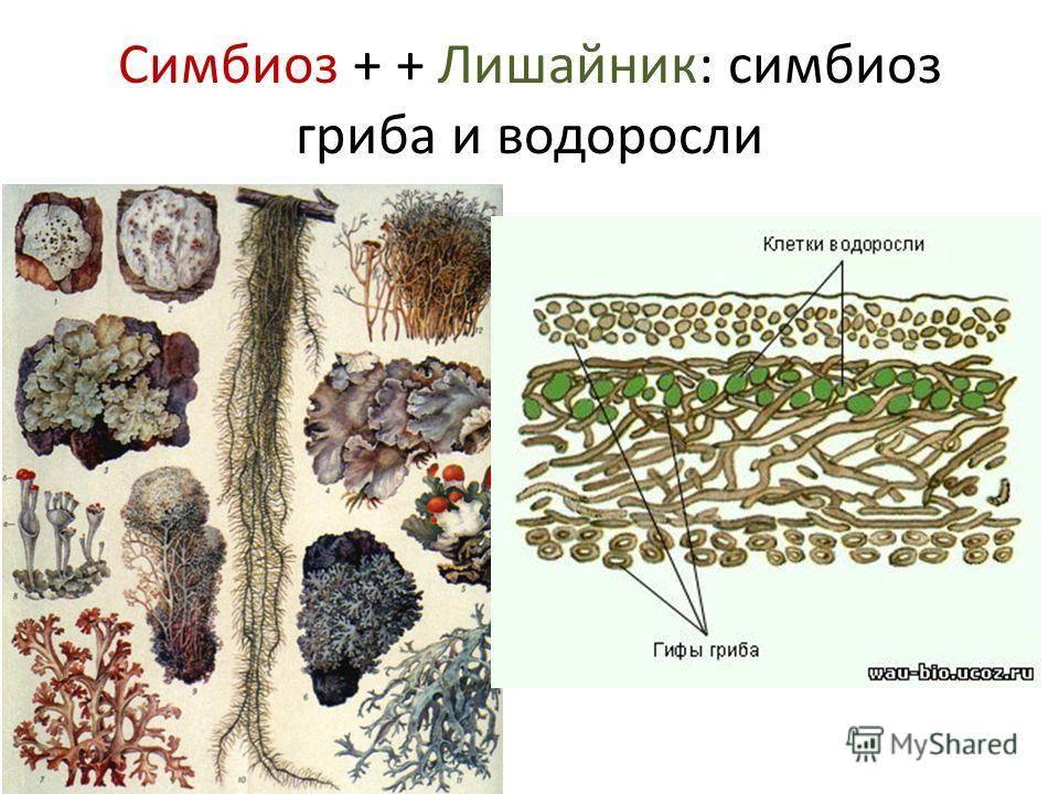В чем проявляется симбиоз гриба и водоросли - ogorod.guru