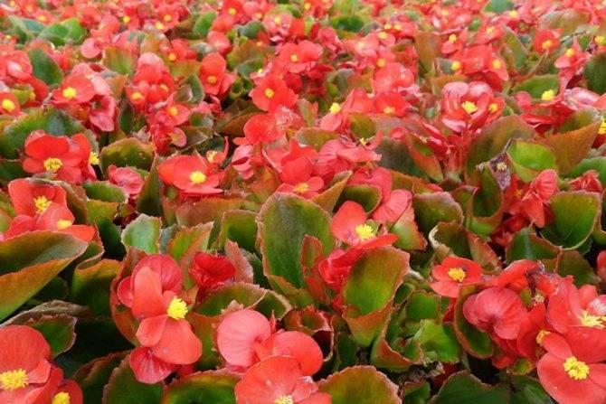 Разновидности домашних бегоний: описание сортов комнатных растений