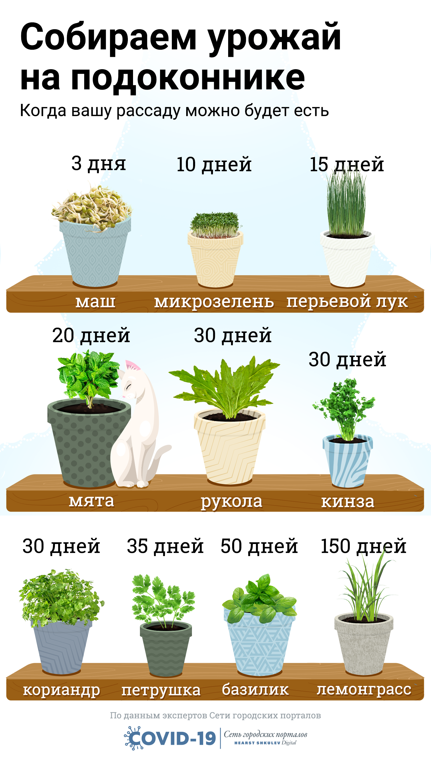 Руккола – выращивание из семян в открытом грунте, в теплице, на подоконнике