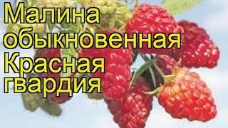 Элитный сорт малины «красная гвардия»