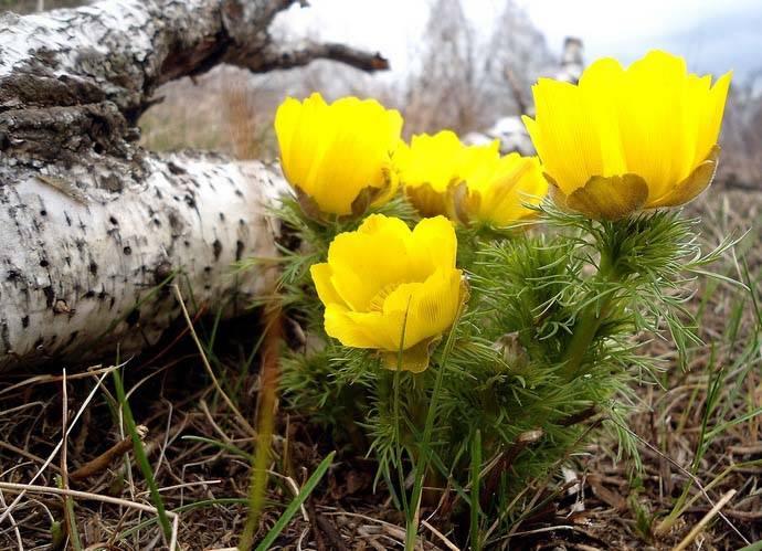 Растение адонис весенний (горицвет): фото, описание цветка из красной книги, выращивание адониса