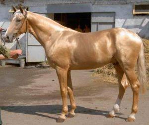 Соловая масть лошади: фото и характеристика   мои лошадки