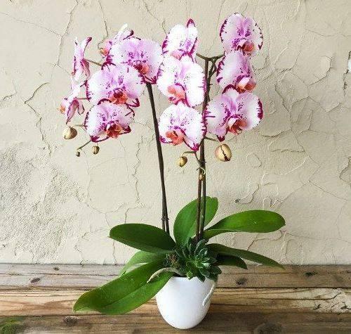 Мильтония – орхидея-фиалка