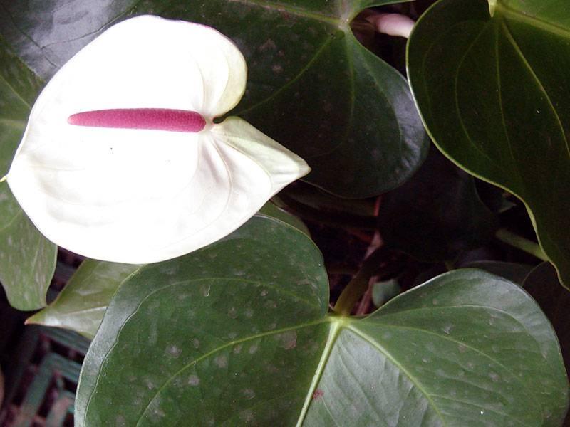 Антуриум | как правильно ухаживать за комнатным цветком антуриум