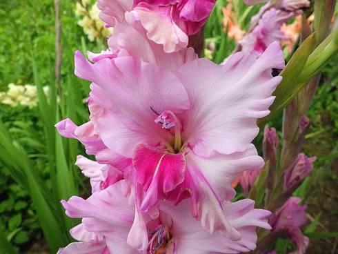Как и когда сажать гладиолусы в открытый грунт весной